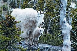 Mountain Goats in the Park