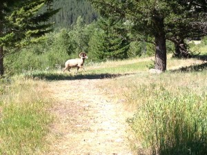 We met a friend on the trail and named him Mr. Bighorn.
